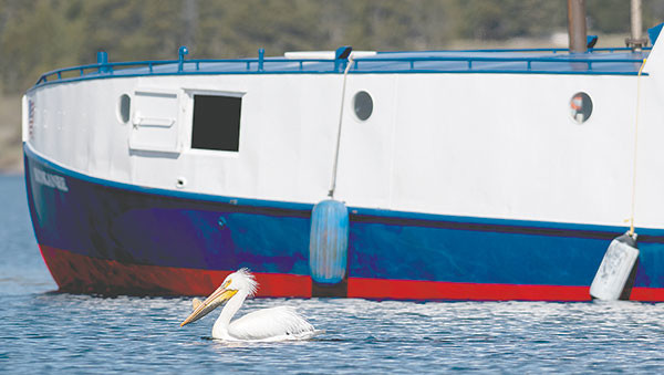An American white pelican, with a bill horn showing, hangs out around the Freedom, the park service's largest boat. American white pelicans grow a bill horn that falls off after breeding season; several species of birds hang around the boats, hoping for a free meal as crews remove lake trout from Yellowstone Lake.