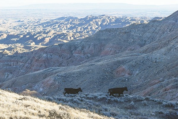 Although these cattle were on the boundary of the McCullough Peaks wilderness study area last fall, there are two grazing allotments in the study area, which would be permitted if it became a wilderness area.