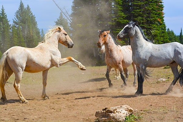 Wild horses, including these shown in the Pryor Mountains in 2015, establish a strict hierarchy. The Bureau of Land Management has increased the appropriate management level by five to 15 adult head in the Pryor Mountain herd.