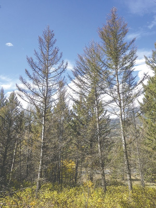 Tree death due to spruce budworm is evident in the vicinity of Wyo. Highway 296. 'In the past year we have had an increase of 3,000 acres,' said Amy Haas, forester for the Shoshone National Forest. 'This brings the total affected acres to approximately 15,000.'