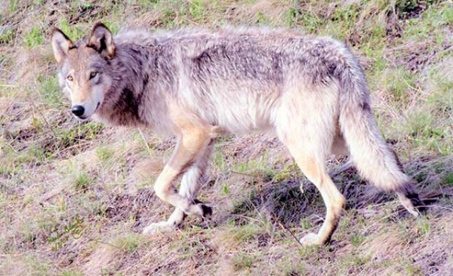 Wyoming and the federal government hope to publish a preliminary rule delisting Wyoming wolves by this fall that would leave most of the predator zone intact.