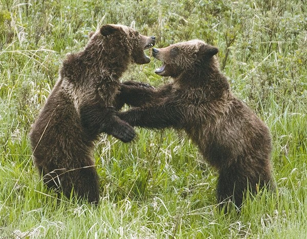 Wyoming officials are moving forward with plans for a grizzly bear hunt this fall. Above, in a shot captured by Cody photographer Steve Torrey, two grizzly siblings tussle on the North Fork of the Shoshone River east of Yellowstone on the morning of Sunday, May 20.