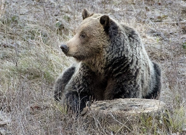 A grizzly browses for a meal near Pahaska Tepee on the North Fork. The area is close to Yellowstone National Park and the bear may move in and out of the park boundaries. The Wyoming Game and Fish Commission will make a final vote Wednesday in Lander for a fall hunting season. Up to 11 bears within the demographic monitoring area, including the North Fork, and 12 bears outside of the area could be targeted in the proposed season.