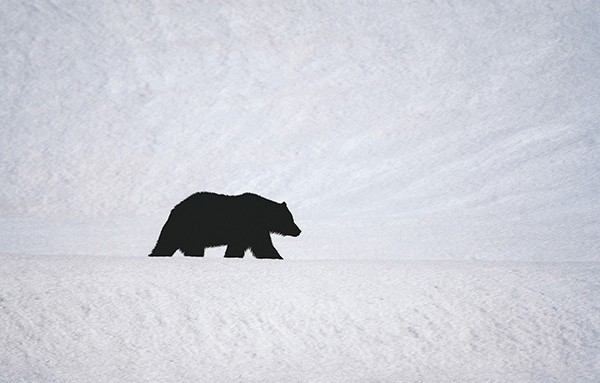 A grizzly crosses a snowy valley just north of the Yellowstone River on the Grand Loop Road on Friday. Grizzlies hibernate, also called denning, for about five months a year in the park and are now out and hungry. The deep snow hides much of the plant life the bears depend on in early spring.
