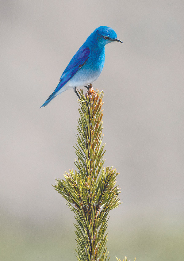 A male mountain bluebird forages during the afternoon at Nez Perce Ford on the Grand Loop Road. The birds are common in the area's wide-open spaces at middle and higher elevations.