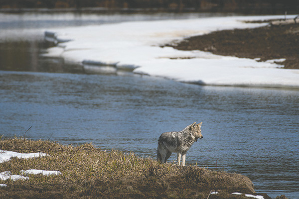 A coyote looks out over Sedge Creek after gnawing on the carcass of a bison for lunch.