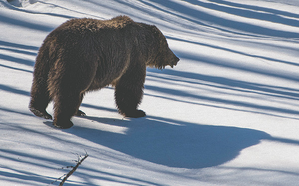 A grizzly crosses a field of snow on the edge of a forested area just east of Sylvan Pass. Several grizzlies were reported out and about Friday with deep snow limiting their movement to higher elevations.