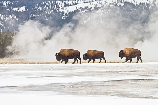Bison are pictured in the Lower Geyser Basin in Yellowstone in this 2015 photo. On Tuesday, a bison injured a visitor in the Old Faithful area.