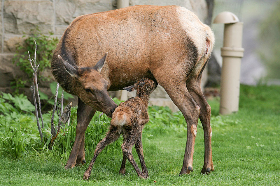 An elk calf is pictured with its mother at Mammoth Hot Springs in this 2010 file photo. On Sunday, an elk protecting a calf attacked a 51-year-old woman from Las Vegas. The calf was bedded down roughly 20 feet away and hidden by other cars, and it's unknown if the woman saw the calf or the elk prior to the encounter.