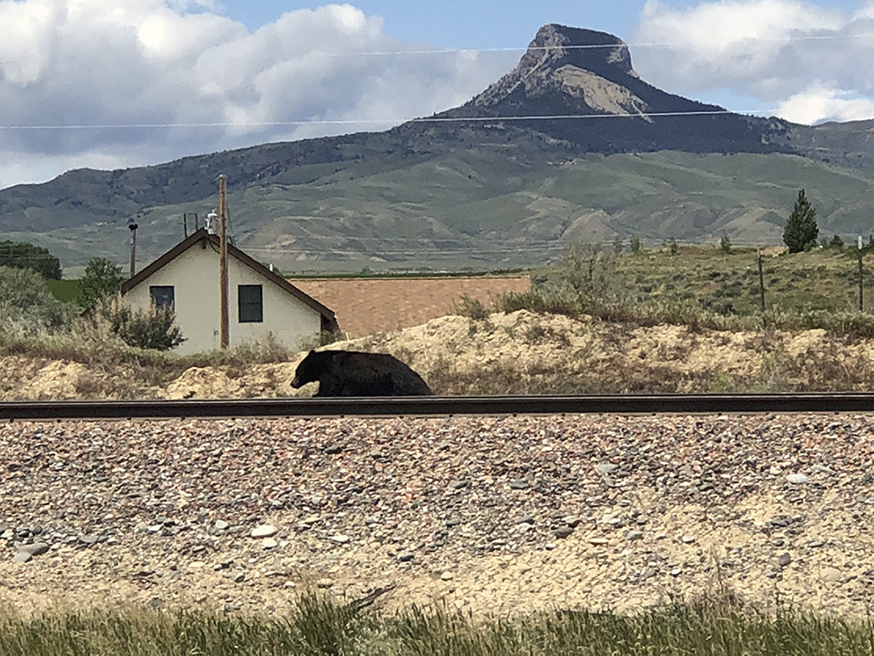 A black bear runs west on the BNSF railroad tracks alongside U.S. Highway 14-A early Friday afternoon. The bear eventually disappeared into brush near the Heart Mountain Interpretive Center.