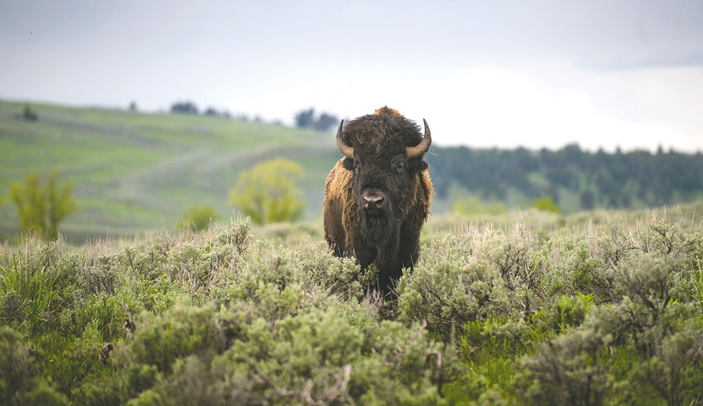 More people than ever flocked to Yellowstone National Park in May to view spectacular scenery and wildlife, such as this bison recently photographed inside the park.