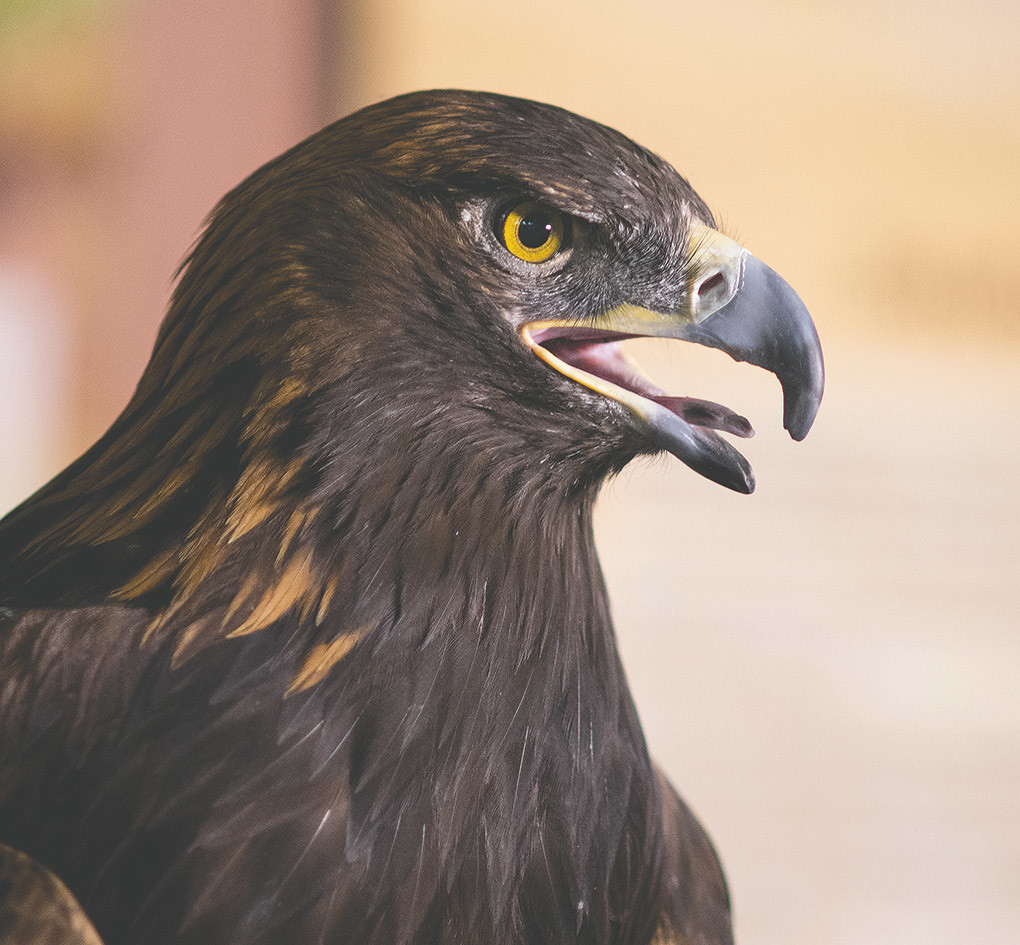 Kateri, a golden eagle used for educational training at the Draper Natural History Museum, makes an appearance during the opening of Monarch of the Skies, the museum's new permanent display.