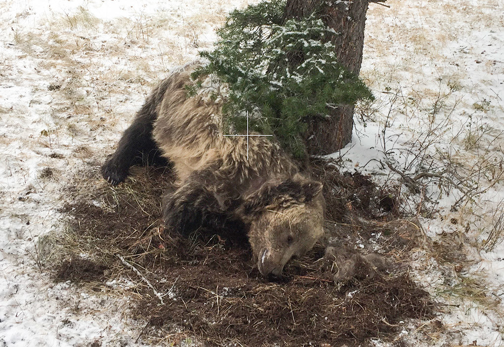 Powell Game Warden Chris Queen told investigators that he was trying to take cover behind this tree as the grizzly sow charged him a second time. Authorities concluded that Queen acted in self-defense.
