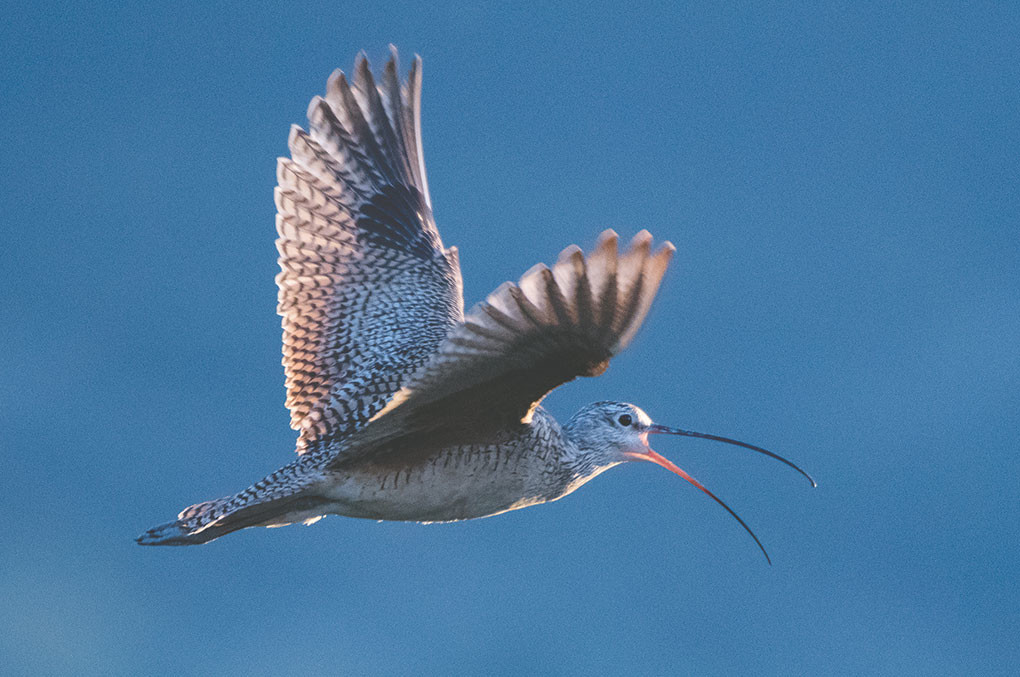 A male long-billed curlew 'mobs' intruders at the site of his and his mate's nesting area. Curlews defend their nests against all comers, even cars, according to researchers.