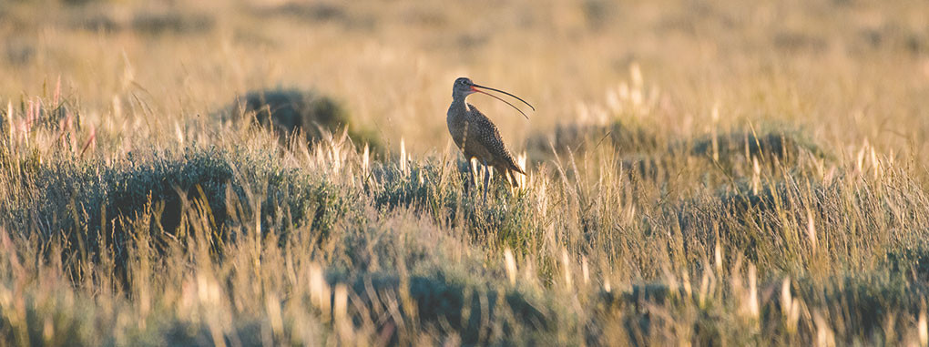 A female long-billed curlew chastises intruders from a perch on sagebrush as they try to count chicks in its nest and take a sample of eggshell for DNA testing. Curlews nesting in the Big Horn Basin are having a great year and researchers have found 100 percent success in nests studied this spring.