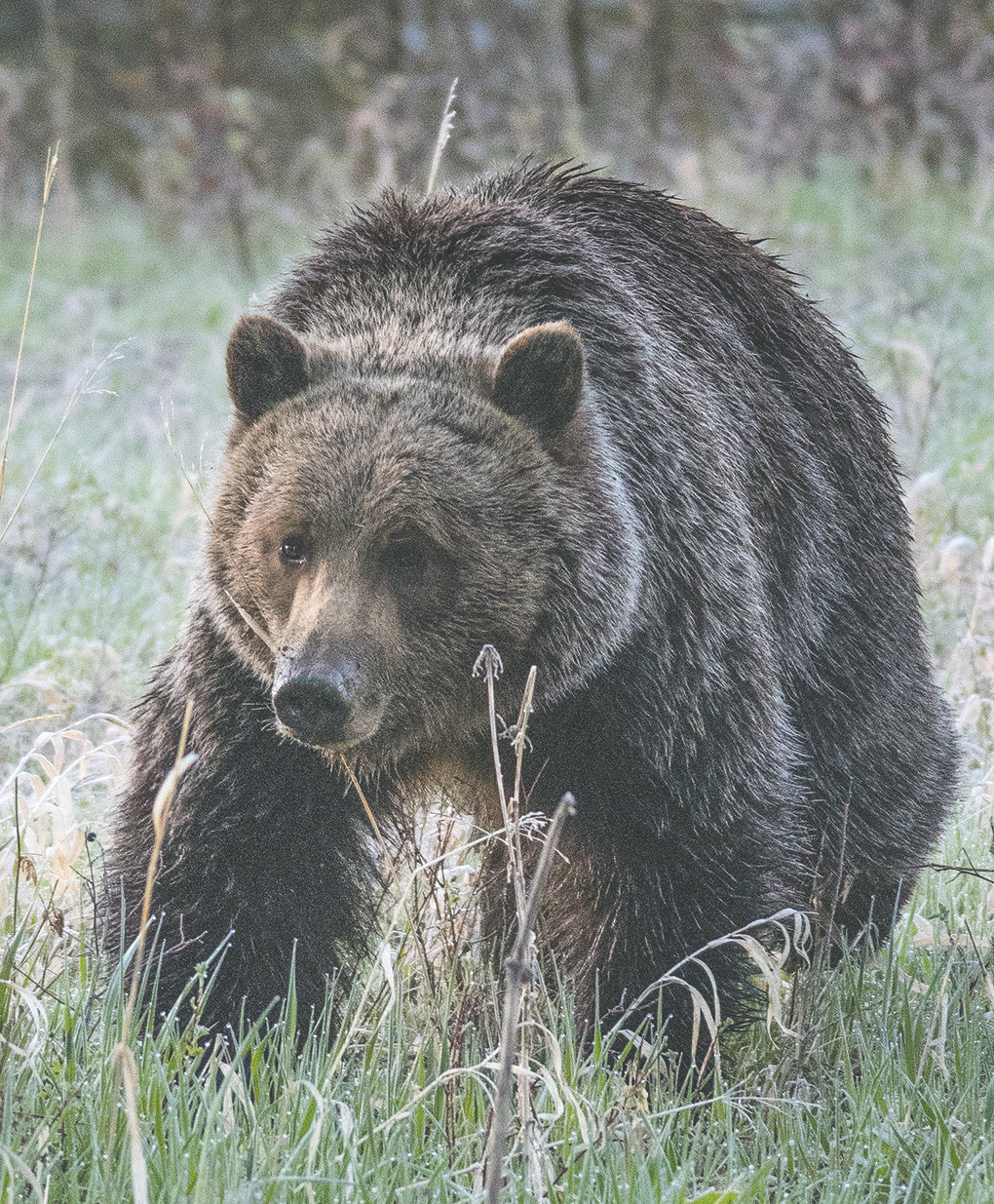 A grizzly bear browses for a morning snack on the North Fork earlier this year. Litigation experienced during the delisting of the species is one of the reasons why Gov. Matt Mead, U.S. Sen. John Barrasso and others are looking for ways to amend the Endangered Species Act.