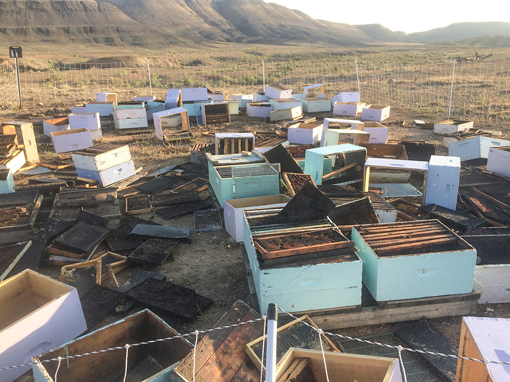 Hives owned by Queen Bee Gardens are scattered around after a black bear went searching for honey in the hives near Yellowtail Wildlife Habitat Management Area east of Lovell. Damage to the hives and lost production will cost the company about $25,000.
