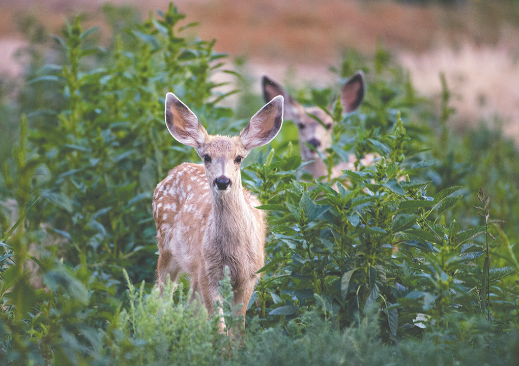 Two mule deer fawns, with spots, browse near sunset in the Willwood district Sunday night. Wyoming is working to ensure a healthy herd of muleys in the state as the species has been in serious decline over the past two decades.