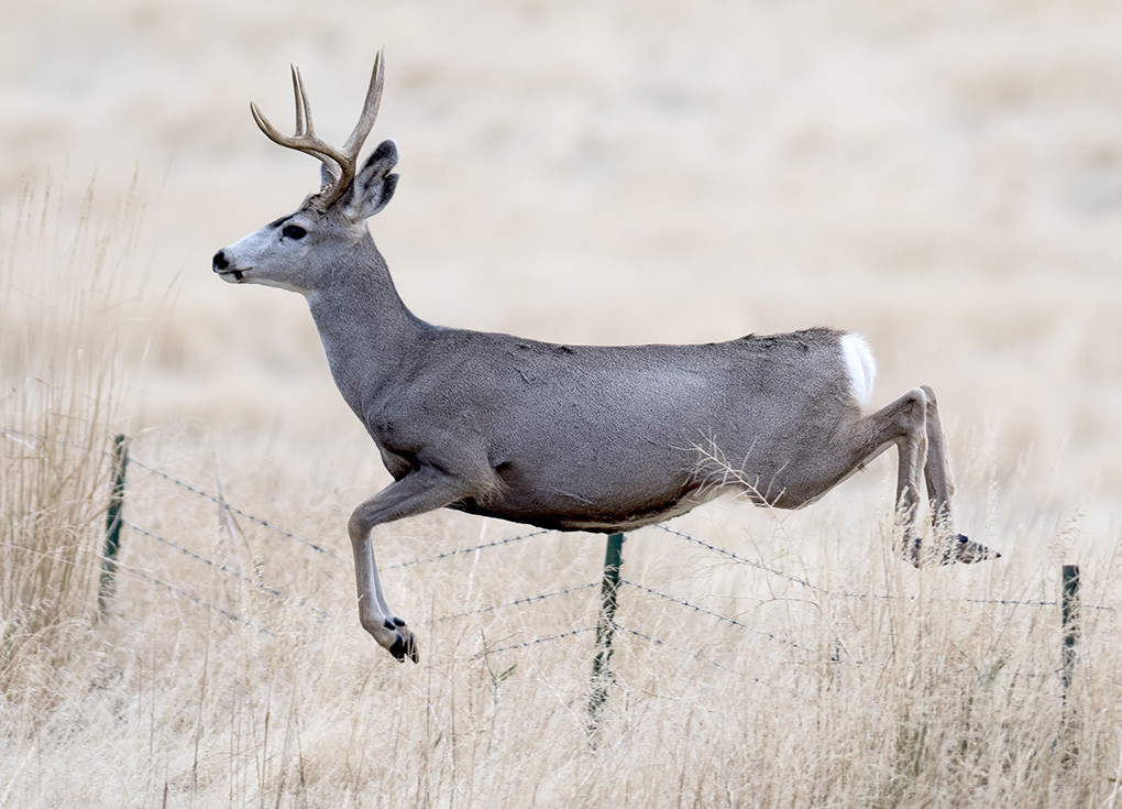 State and federal officials say recently deferred lease sales and stipulations on leases will help protect a mule deer migration corridor in southwest Wyoming.