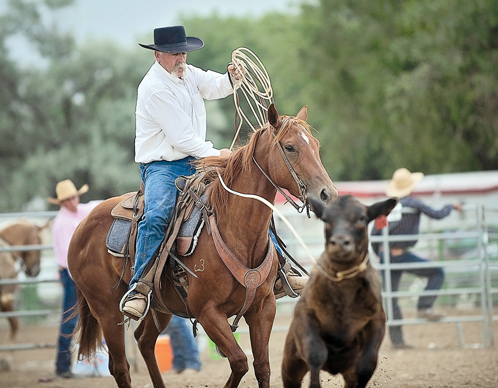 After a successful head catch, Greg Severson dallys up during the Park County Fair Ranch Rodeo. In this timed event, team branding, four-man teams worked together to rope a calf by the head and heels, then moved the head rope to the front legs and applied a cold branding iron.