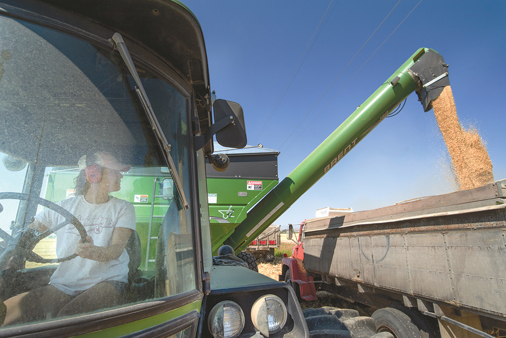 Shaleas Harrison unloads barley east of Powell earlier this week.