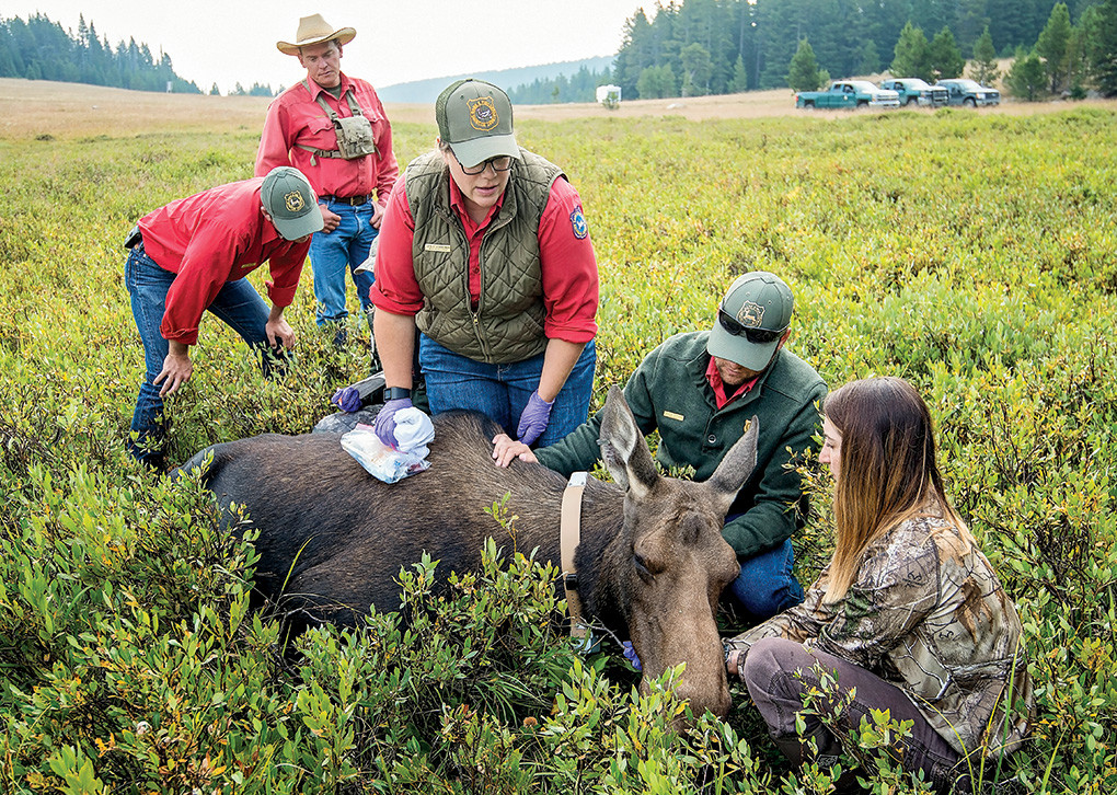 Game and Fish biologist Leslie Schreiber leads a team including (from right) graduate student Lindsay Martinez, game warden Dillon Herman, biologist Eric Maichak and technician Eric Shorma in testing a tranquilized cow moose.