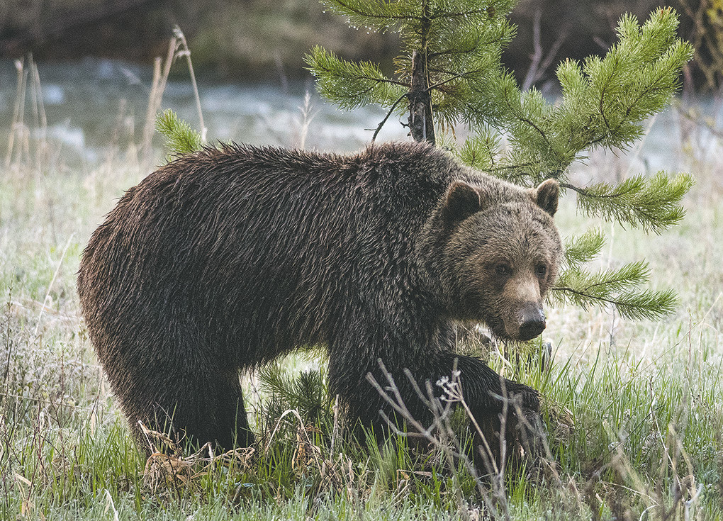 A juvenile grizzly forages for a meal earlier this spring outside of the East Gate of Yellowstone National Park. A judge may rule as soon as Thursday on whether the region's grizzlies should be placed back on the endangered list.