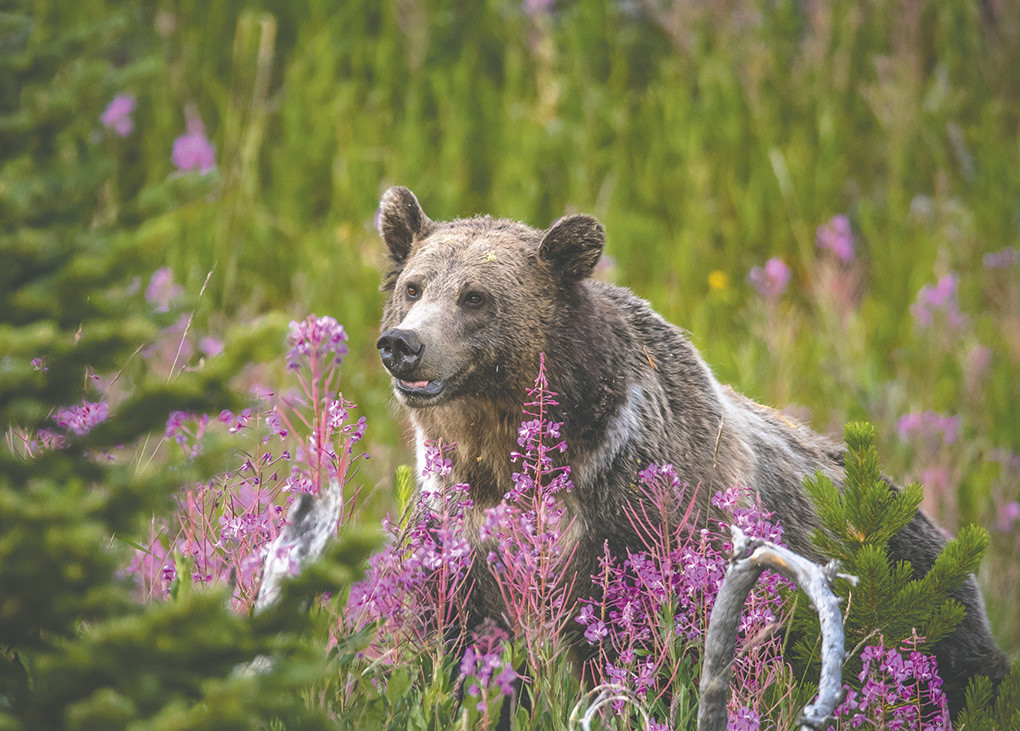 A female grizzly bear, known as Raspberry to park frequenters, sits among a cluster of Lewis' monkeyflowers this summer at Yellowstone National Park.