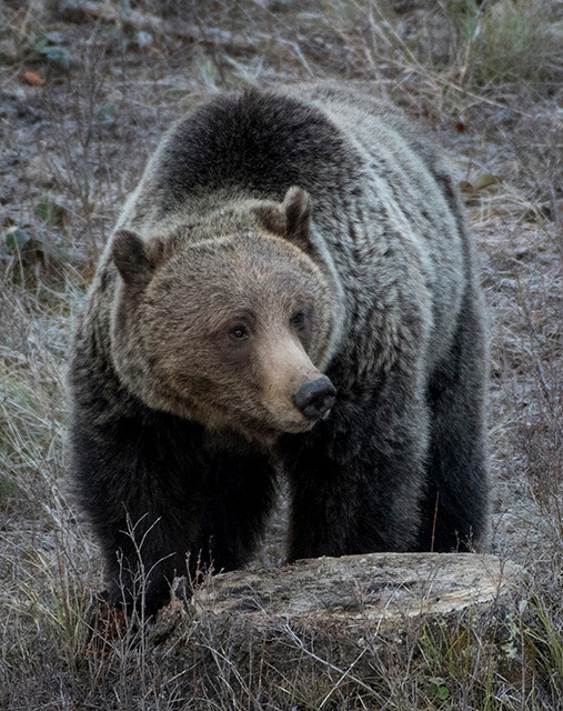 A grizzly bear roams Yellowstone National Park earlier this year. While hunting is prohibited in Yellowstone, Wyoming wildlife managers planned to host a grizzly hunt outside of the park this fall. However, a federal judge has at least temporarily put those plans on hold.