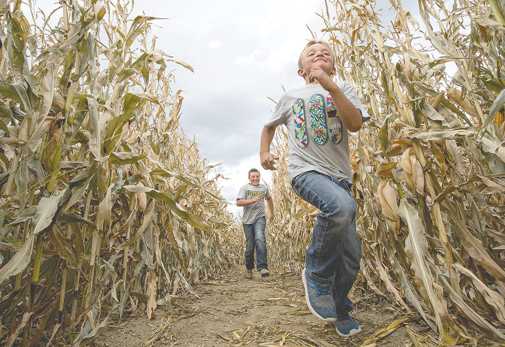 Tate and Joe Gallagher run through their family's corn maze in Clark on Tuesday. Grizzly bears were found in the area on Friday, but the property has since been given the all clear. Gallagher's Corn Maze and Pumpkin Patch — now protected by an electric fence — is set to be open for business this weekend.