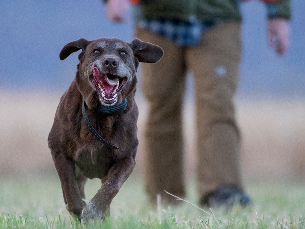 Meg, a 10-year-old chocolate lab owned by Scott and Stefani Hicswa, could hardly wait for pheasant season to open. 'The older she gets, the more excited she gets to hunt,' Scott said.
