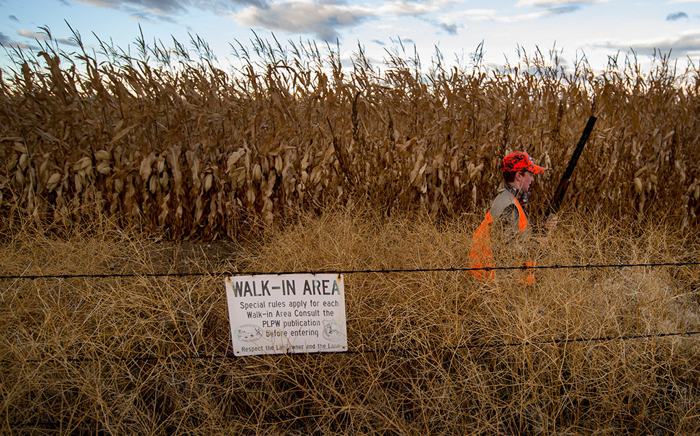 Kalin Hicswa walks the edge of a public access walk-in area near Powell for pheasant on opening day. Wyoming leases more than 36,000 acres of privately held agricultural land in Park and Big Horn counties for outdoors hunting and fishing sports.