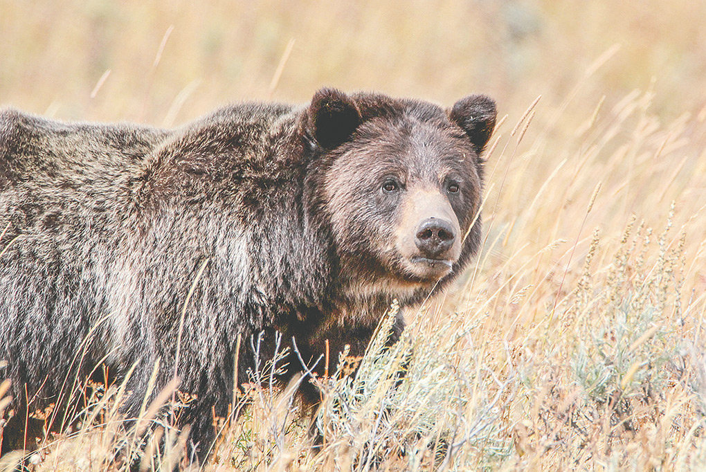 A grizzly is pictured near Wapiti Lake Trail in Yellowstone National Park in 2015. Federal officials may propose a new rule to delist grizzlies in the Yellowstone area, but any change in the current status will take at least two years.