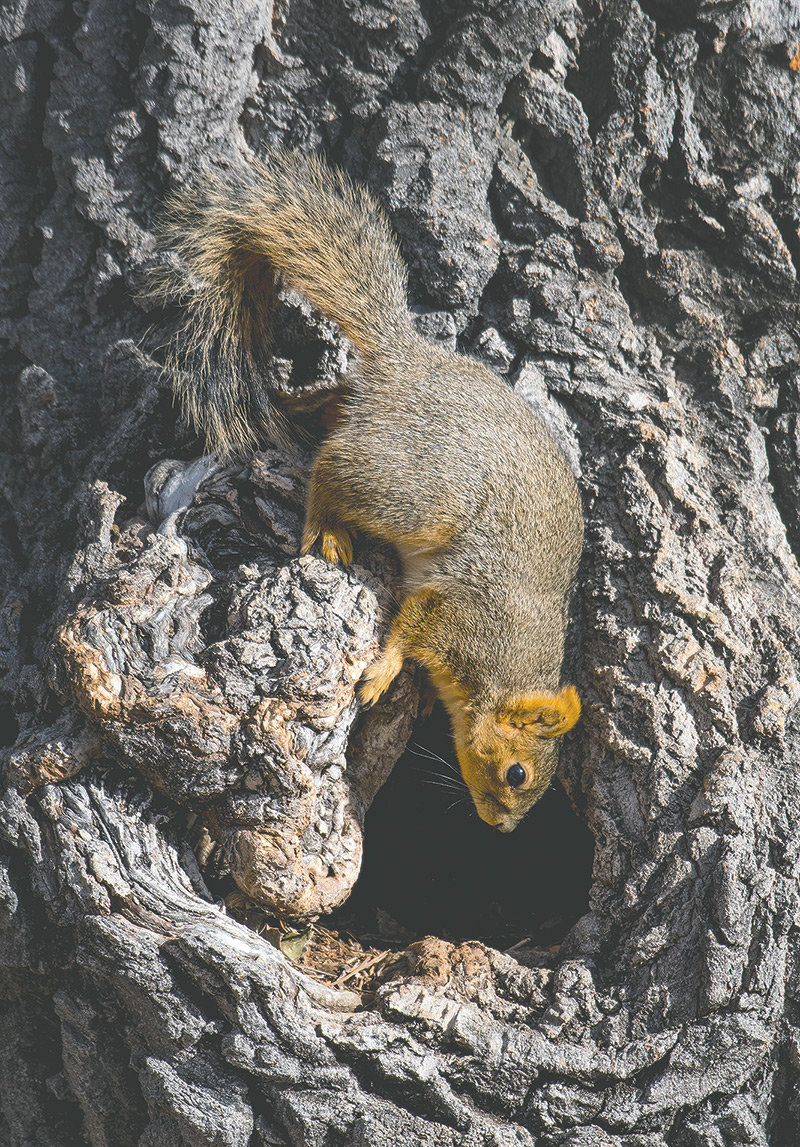 A fox squirrel takes shelter in a hollow cottonwood tree in Washington Park on Tuesday. While the squirrel is happy, hollow and aging trees are a liability in the city. Infestation of emerald ash borers will soon also affect ash trees on city property — about one out of every seven trees on public property in Powell.