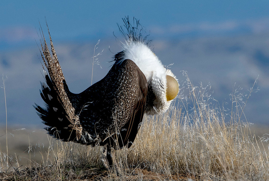 A male sage grouse struts his stuff while trying to impress females on a lek. The species' elaborate mating ritual will continue into May.