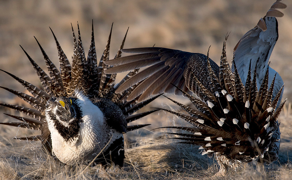 Two male sage grouse battle over territory and females on a lek near Worland earlier this month. Scientists from three states recently worked to capture and relocate grouse from the Rawlins area, to augment dwindling numbers in North Dakota and help save the species in decline.