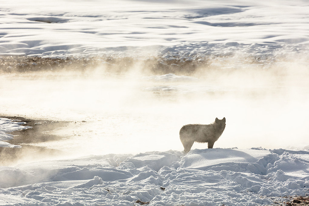 A member of the Wapiti Lake Pack is silhouetted by a nearby hot spring in Yellowstone National Park last year. The park's wolf population has declined in recent years.