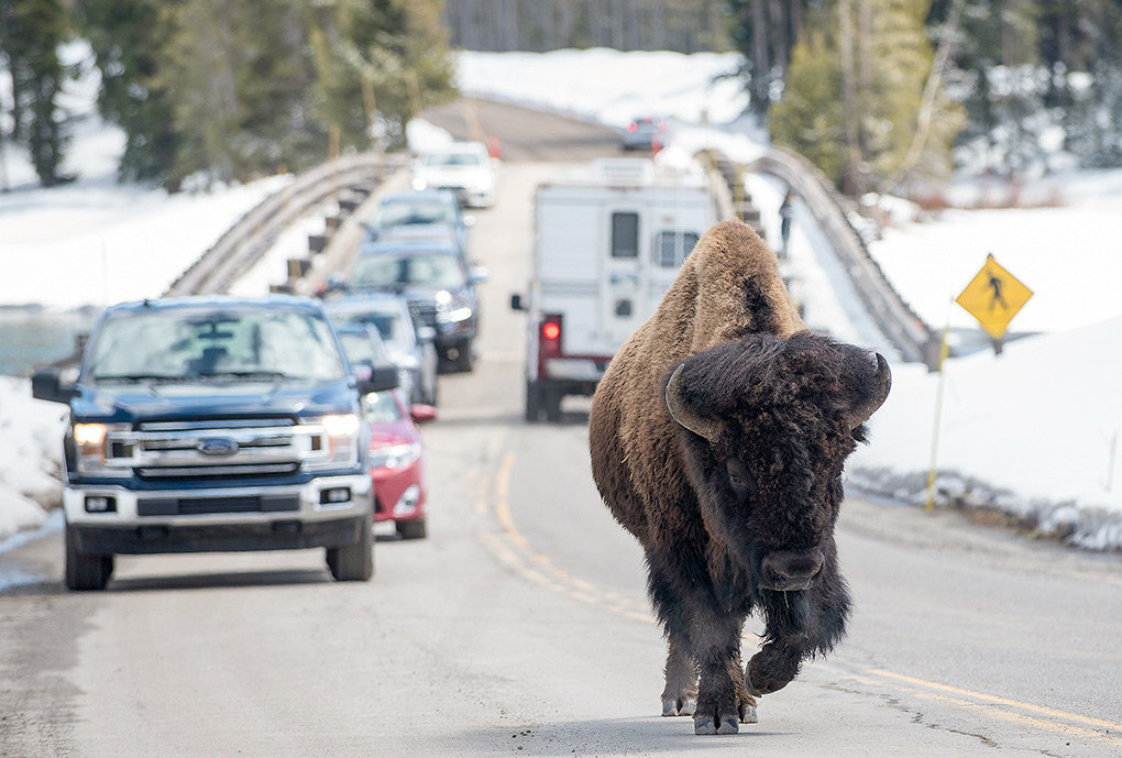 A bison holds up traffic after crossing Fishing Bridge in Yellowstone National Park Friday. The bridge construction is finished and those entering through the East Entrance can now reach the rest of the park. However, construction on a 3.2 mile stretch of the East Entrance Road will slow traffic through 2020.
