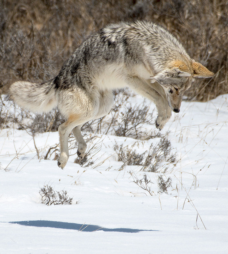 A coyote hunts for a rodent lunch near Indian Pond on the opening day of the park.
