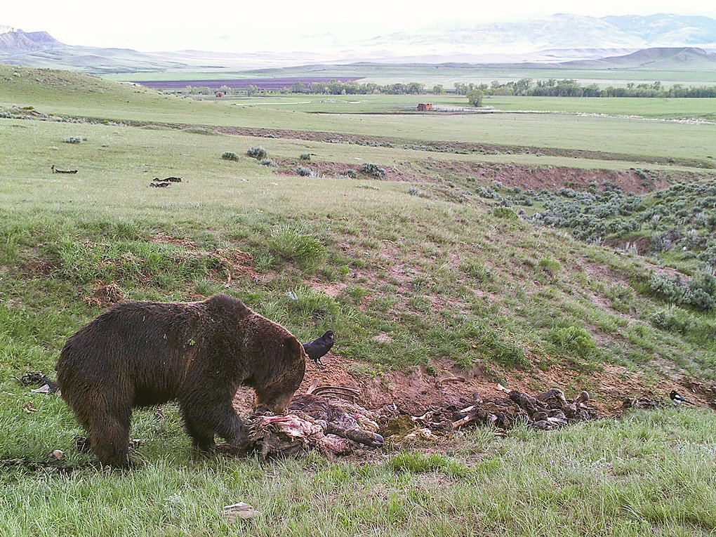 A grizzly is caught on a trail camera as it feeds on a calf carcass on the Lazy BV Ranch, in Meeteetse. A proposed bill in the House of Representatives would increase tribal involvement and further restrict Wyoming Game and Fish biologists in management efforts of the large carnivore.
