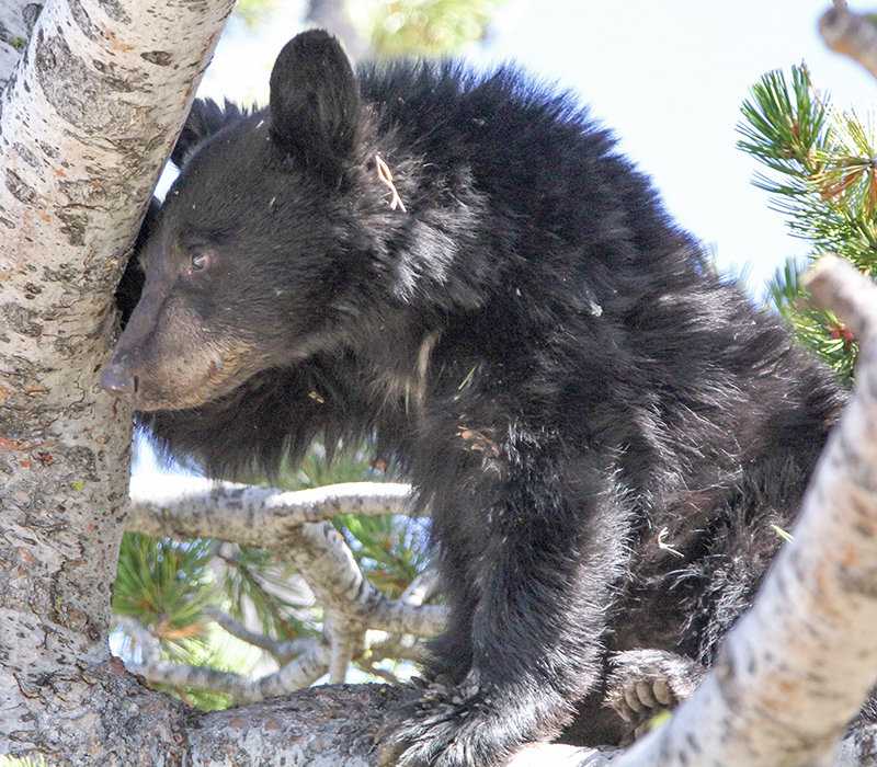 Black bears peek out from a tree in Yellowstone National Park in this 2016 file photo. A new lawsuit from three conservation organizations asks a federal judge to prohibit black bear hunters from using bait, arguing the practice puts grizzlies at risk.