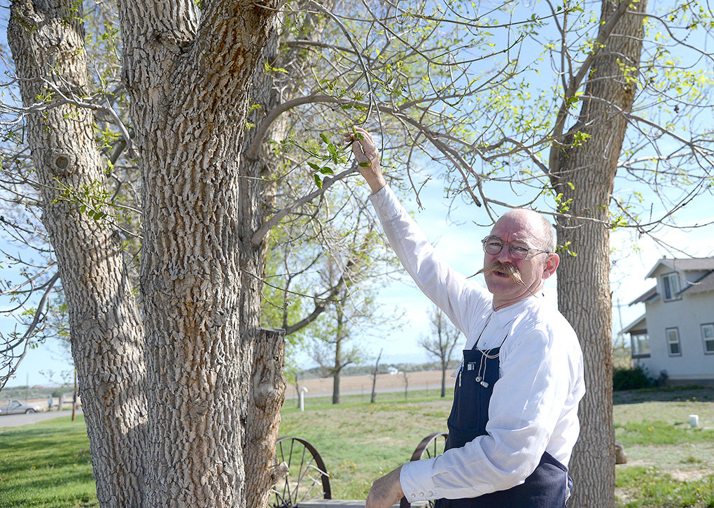 Pulling on a branch, Willwood resident Royal Stukey shows how one of the ash trees on his property was partially defoliated after being accidentally sprayed with herbicide.