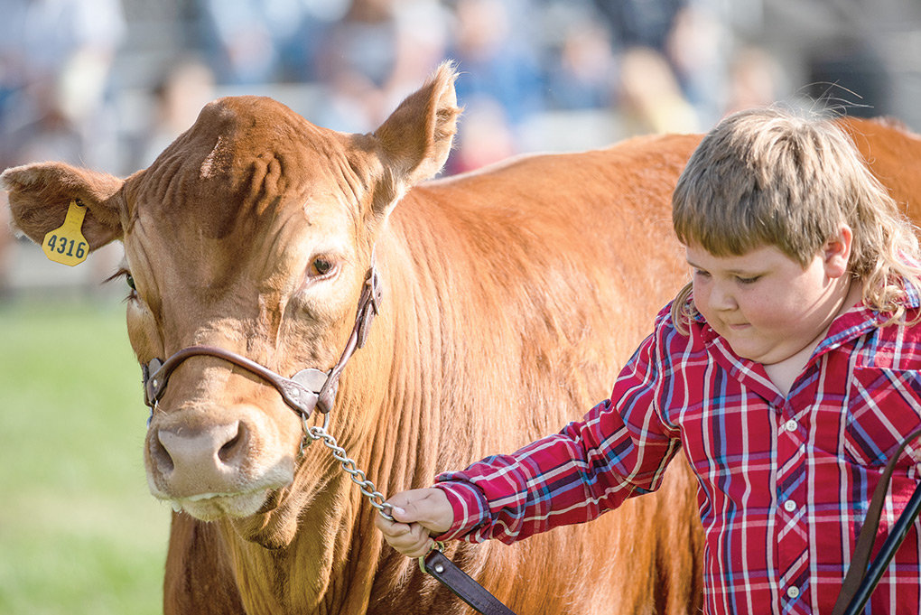 Tag Thompson leads his steer in the Bred and Fed livestock competition, which features animals born and raised in Park County. The contest will be held Wednesday as part of Park County Day.