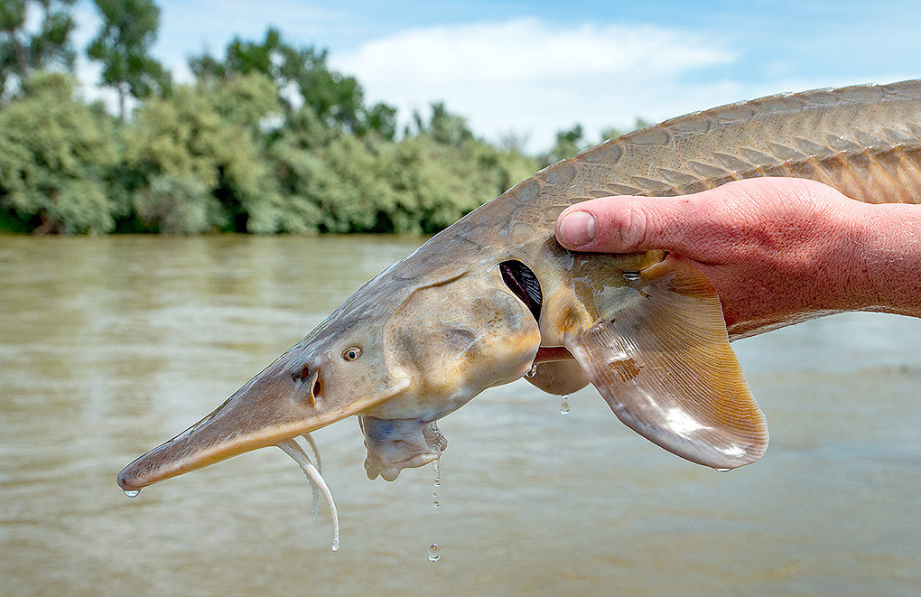 A shovelnose sturgeon, a fish surviving since the Jurassic period, heads back to the Bighorn River after measuring and testing.