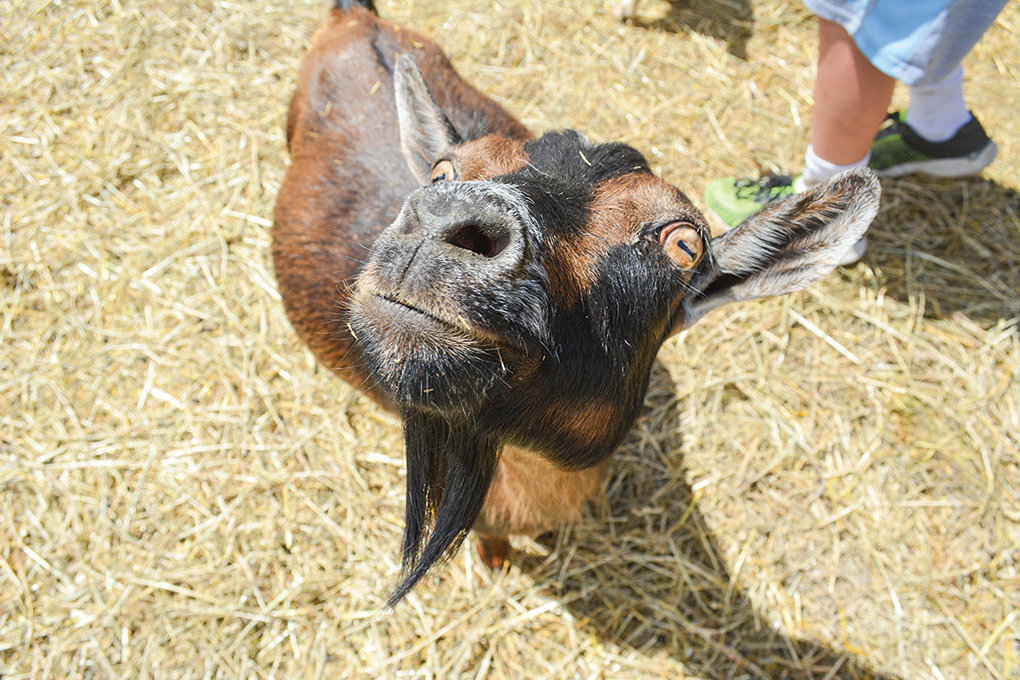 Roughly 75 goats are expected at this year's Park County Fair, about the same as last year and up significantly from prior years.