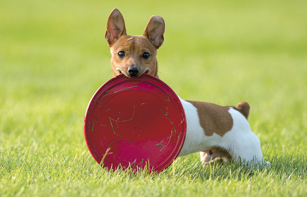 Simba, a rat terrier, plays catch with friends at a local park. Local dogs will soon have a park to call their own, as Wiggly Field opens Saturday. Located on the north side of Homesteader Park (across from the baseball fields), the off-leash dog park is ready for residents and their pups to enjoy.