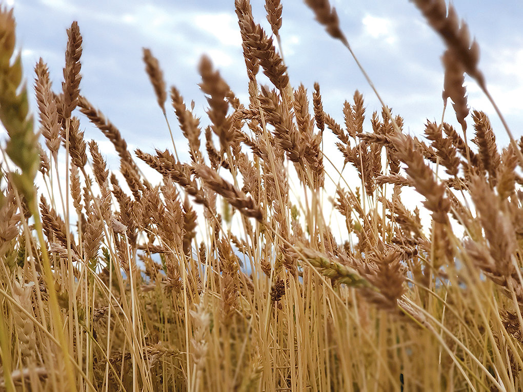 White Sonora wheat, a heritage grain, grows at the Wooden Shoe Farms near Heart Mountain. Sara Wood hopes to grow non-modified grains to supply her new flour mill and malt processing facility, known as Wyoming High Desert Malt.