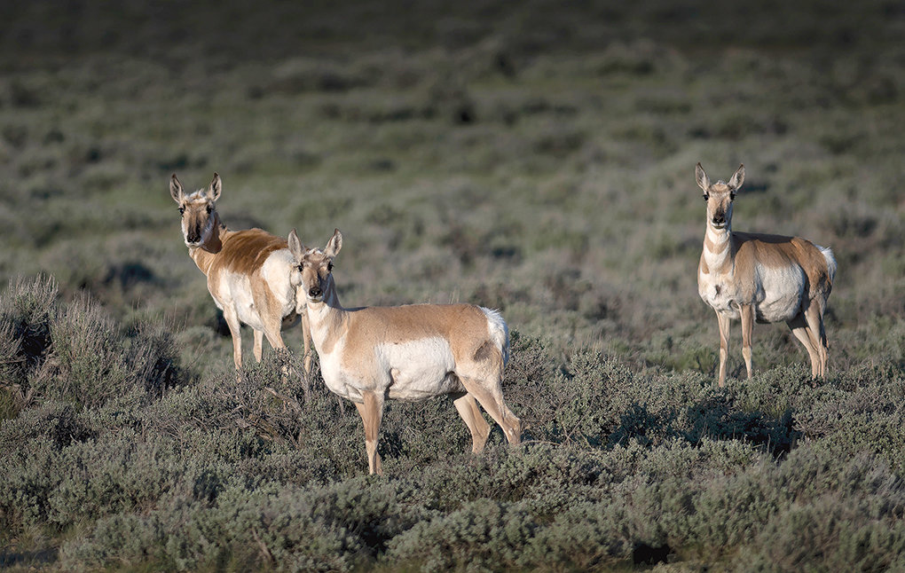 Three pronghorn does are leery of human onlookers while browsing the sagebrush steppe between Cody and Meeteetse. A Migration Corridor Advisory Group has recently requested Gov. Mark Gordon make an executive order protecting the corridors.