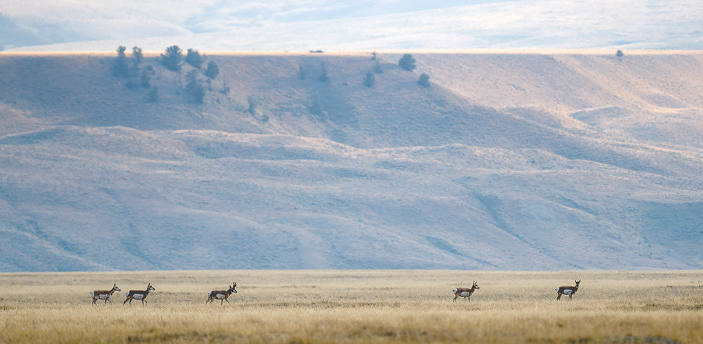 Pronghorns move through large tracks of grazing land near Meeteetse.