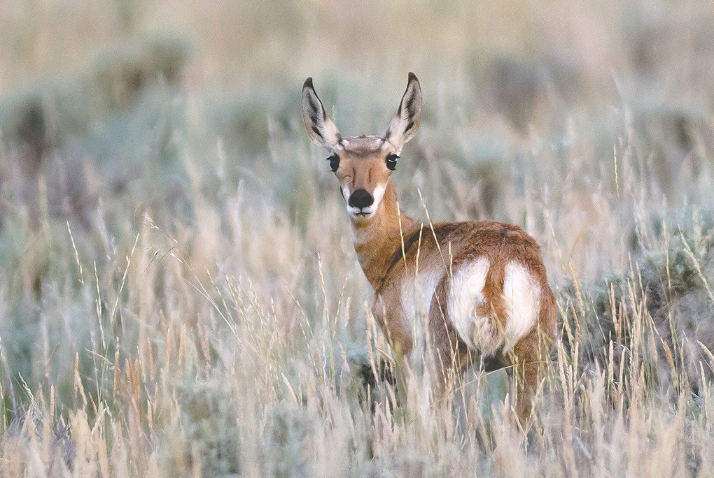 A pronghorn fawn, photographed near Meeteetse, stays close to its mother while browsing in the sagebrush near Wyo. Highway 120. A new study that gets underway in November will try to determine if Game and Fish officials can map a new migration corridor near Carter Mountain.